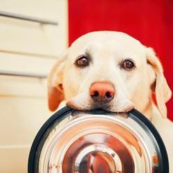 Warum die meisten Labrador Retriever so gern fressen