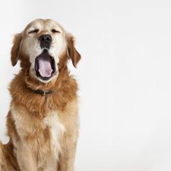 Warum gähnen Hunde